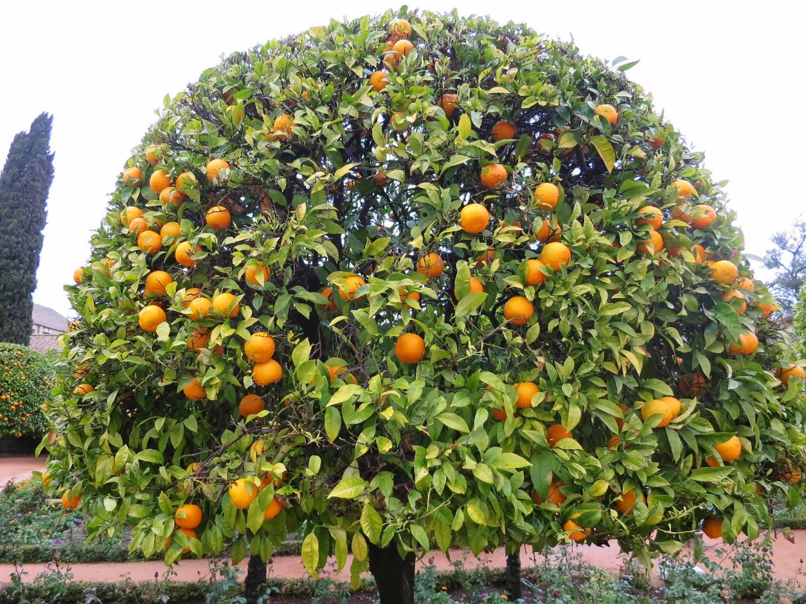 albero arancio