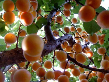 albero-di-albicocca